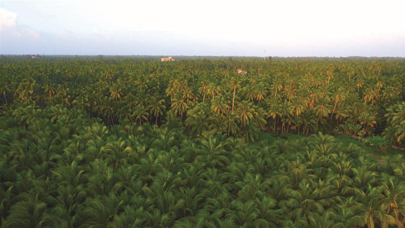 东郊椰林最风光 的美誉_副本.jpg