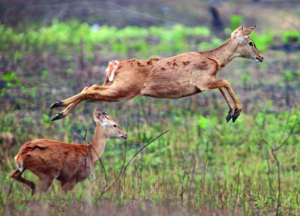 飞翔的坡鹿-吴建华.jpg